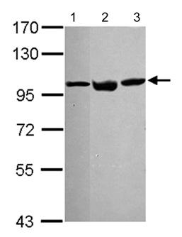Western blot - VCP antibody (ab111740)