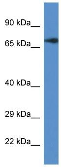 Western blot - Translation factor GUF1, mitochondrial antibody (ab111833)