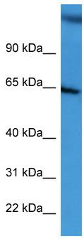 Western blot - CD239 antibody (ab111875)