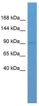 Western blot - Glutamate receptor 3 antibody (ab111878)