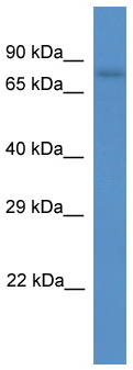 Western blot - SCEL antibody (ab111883)
