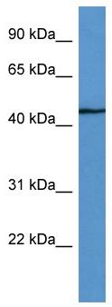 Western blot - SHFM3 antibody (ab111916)
