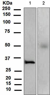 Western blot - Orai1 antibody [EPR3394(2)] (ab111960)
