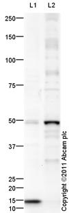 Western blot - PAX8 antibody (ab111972)