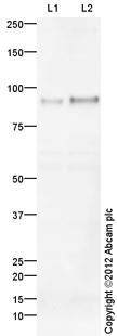 Western blot - Anti-VR1 antibody (ab111973)