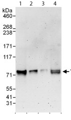 Western blot - RRN3 antibody (ab112052)
