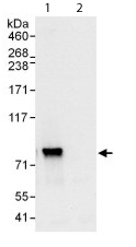 Immunoprecipitation - RRN3 antibody (ab112052)