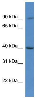 Western blot - C9orf64 antibody (ab112088)