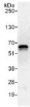 Immunoprecipitation - NAB1 antibody (ab112091)