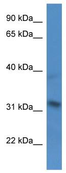 Western blot - SH3BP5 antibody (ab112107)