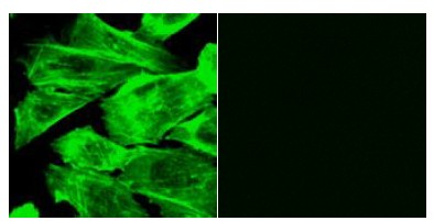 Functional Studies - CytoPainter F-actin Labeling Kit - Green Fluorescence (ab112125)