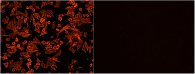 Functional Studies - CytoPainter F-actin Staining Kit - Orange Fluorescence (ab112126)