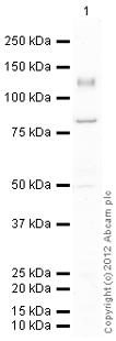 Western blot - Anti-Integrin alpha 6 antibody (ab112181)