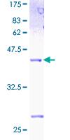 Western blot - ID2 protein (ab112306)