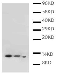 Western blot - Lymphotactin antibody (ab112498)