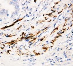 Immunohistochemistry (PFA perfusion fixed frozen sections) - Anti-BCA1 antibody (ab112521)