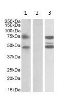 Western blot - ASNSD1 antibody (ab112523)