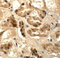 Immunocytochemistry - Anti-ATAD3B antibody (ab112563)