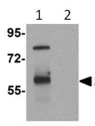 Western blot - TYW3 antibody (ab112570)