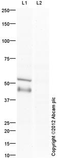 Western blot - Anti-E2F1 antibody (ab112580)