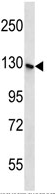 Western blot - SH3TC1 antibody (ab112585)