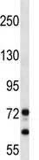 Western blot - PEG10 antibody (ab112593)