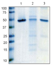 Immunoprecipitation - Anti-ENO1 antibody [2G2AG11BF8] (ab112994)