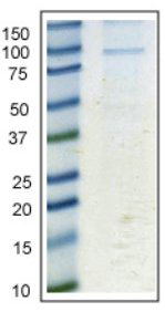 Immunoprecipitation - Anti-Calnexin antibody [6F12BE10] (ab112995)