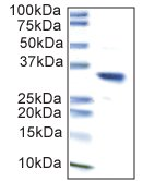 Immunoprecipitation - Anti-Lactate Dehydrogenase B antibody [10E6AA9] (ab112996)