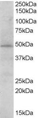 Western blot - STAP2 antibody (ab113083)