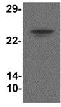 Western blot - Anti-TMEM204 antibody (ab113102)