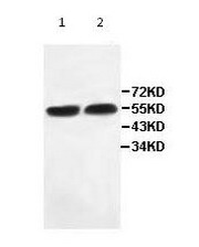 Western blot - IFIT2 antibody (ab113112)