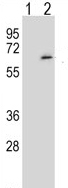 Western blot - SRPK1 antibody (ab113114)