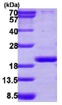 SDS-PAGE - PPIL3 protein (ab113119)
