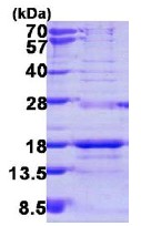 SDS-PAGE - SNRPD3 protein (ab113120)