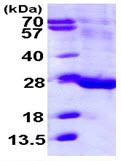 SDS-PAGE - FAM3C protein (ab113122)