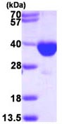 SDS-PAGE - PECR protein (ab113128)
