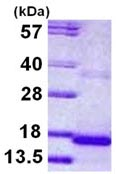 SDS-PAGE - CST9 protein (ab113129)