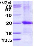 SDS-PAGE - ARF4L protein (ab113130)