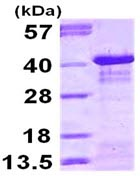 SDS-PAGE - IKB alpha protein (ab113133)