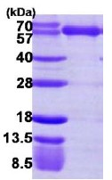 SDS-PAGE - Lysyl tRNA synthetase protein (ab113142)