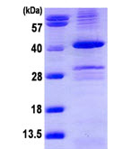 SDS-PAGE - PPP1A protein (ab113150)