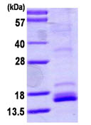 SDS-PAGE - Neurotrophin 4 protein (ab113151)