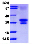 SDS-PAGE - CNOT7 protein (ab113152)