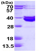SDS-PAGE - Blood Group Antigen Precursor protein (ab113153)