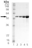 SDS-PAGE - HDJ2 protein (ab113174)