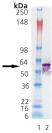Western blot - groEL protein (ab113176)