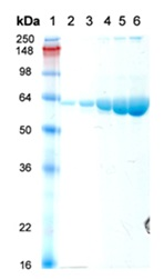 SDS-PAGE - Hsp60 protein (ab113177)