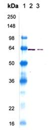 Western blot - Hsp60 protein (ab113177)