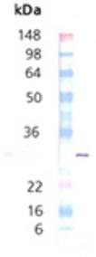 Western blot - Hsp27 protein (phospho S82) (ab113185)